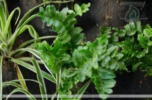 Helecho de Boston- Plantas para Jardin Vertical - Generación Verde