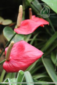 Anthurium - Plantas para Jardin Vertical - Generación Verde
