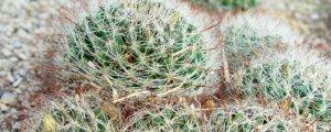 ¿Qué son los cactus y  las biznagas?