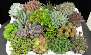 cultivar-plantas-crasas-o-suculentas2