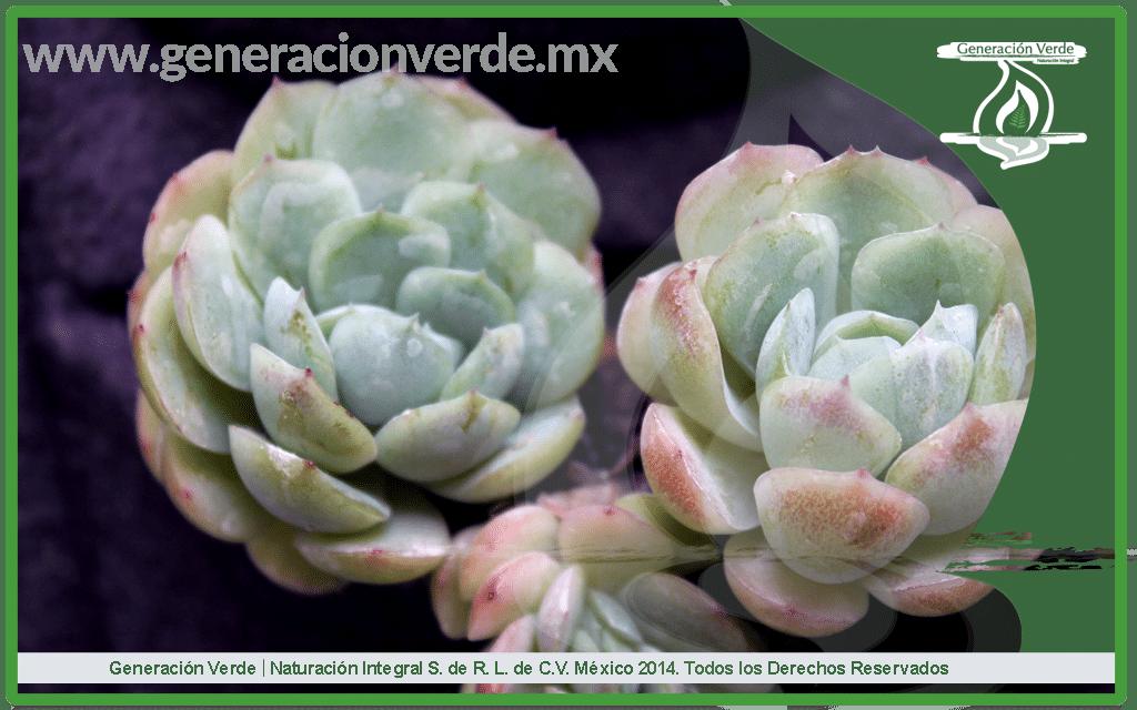 Conchita, Echeveria elegans (Crassulaceae)