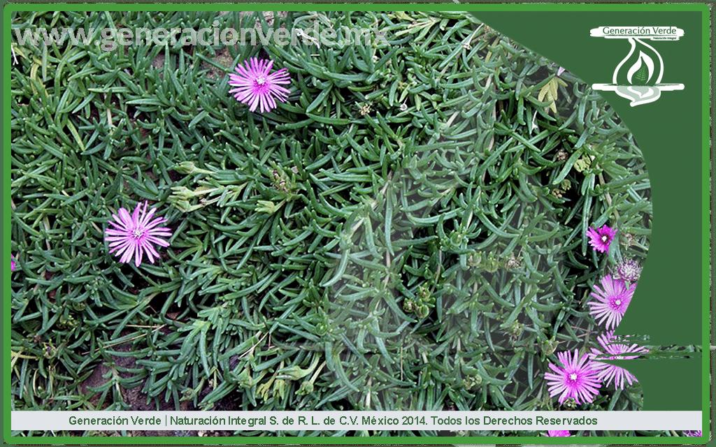 Lampranthus spectabilis Dedo Moroå©