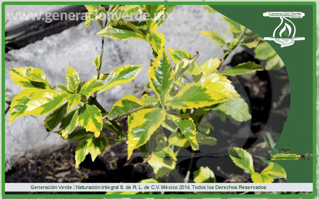 Duranta Duranta erecta L. (Verbenaceae)