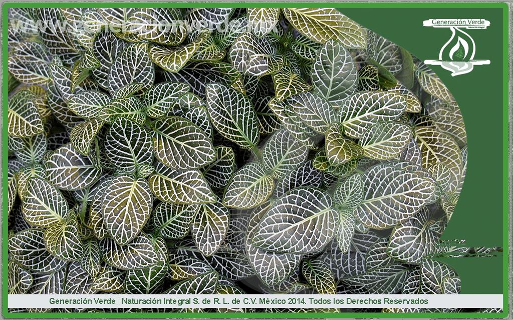 Fitonia, Fittonia argyroneura (Acanthaceae)