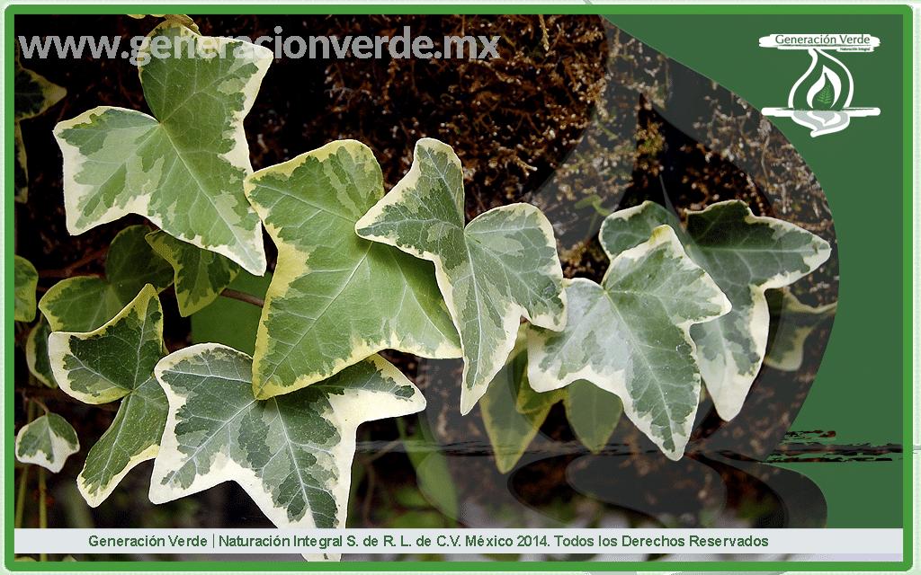 hiedra, Hedera helix (Araliaceae)