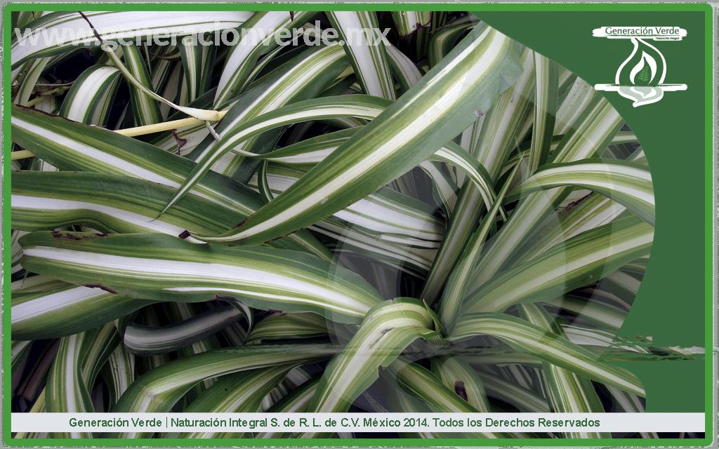 Mala Madre Chlorophytum comosum (Asparagaceae)