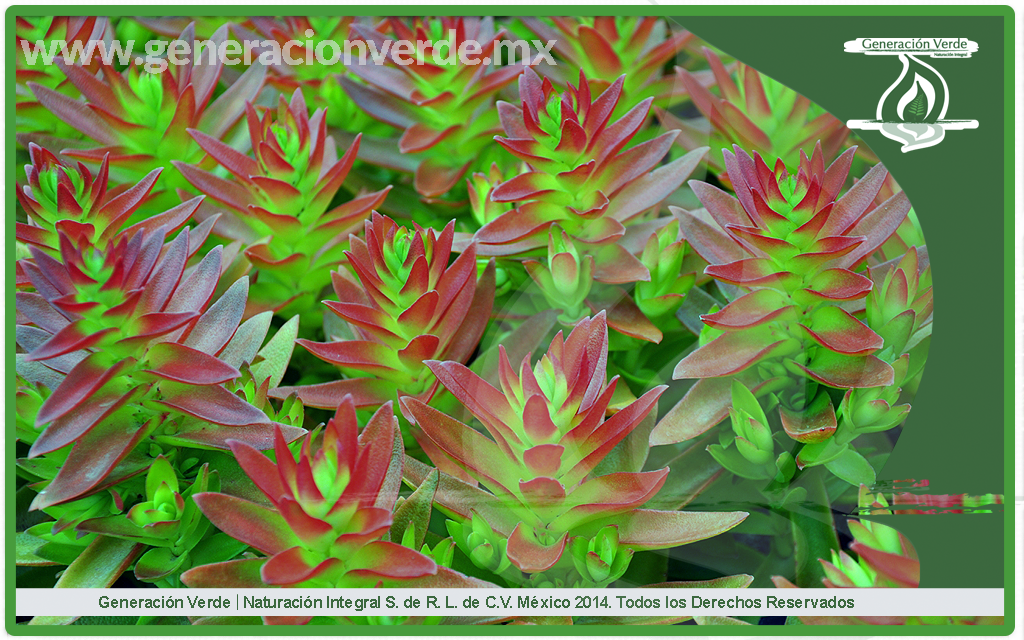 Crassula capitella (Crassulaceae)