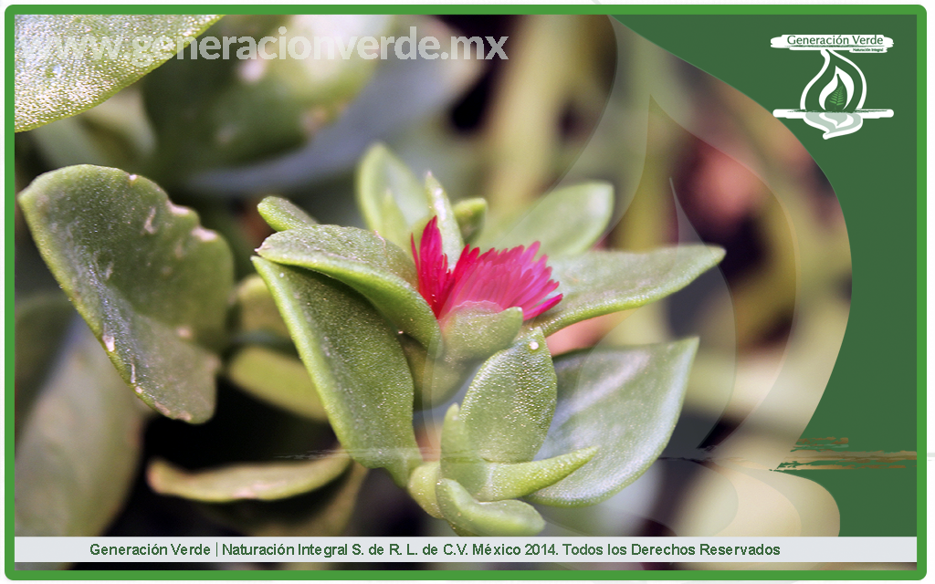 rocío, Aptenia cordifolia (Aizoaceae)