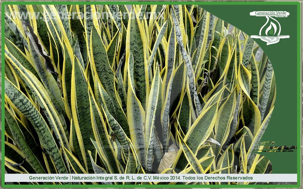Sanseviera trifasciata (Asparagaceae)