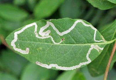 plaga minadores de hojas