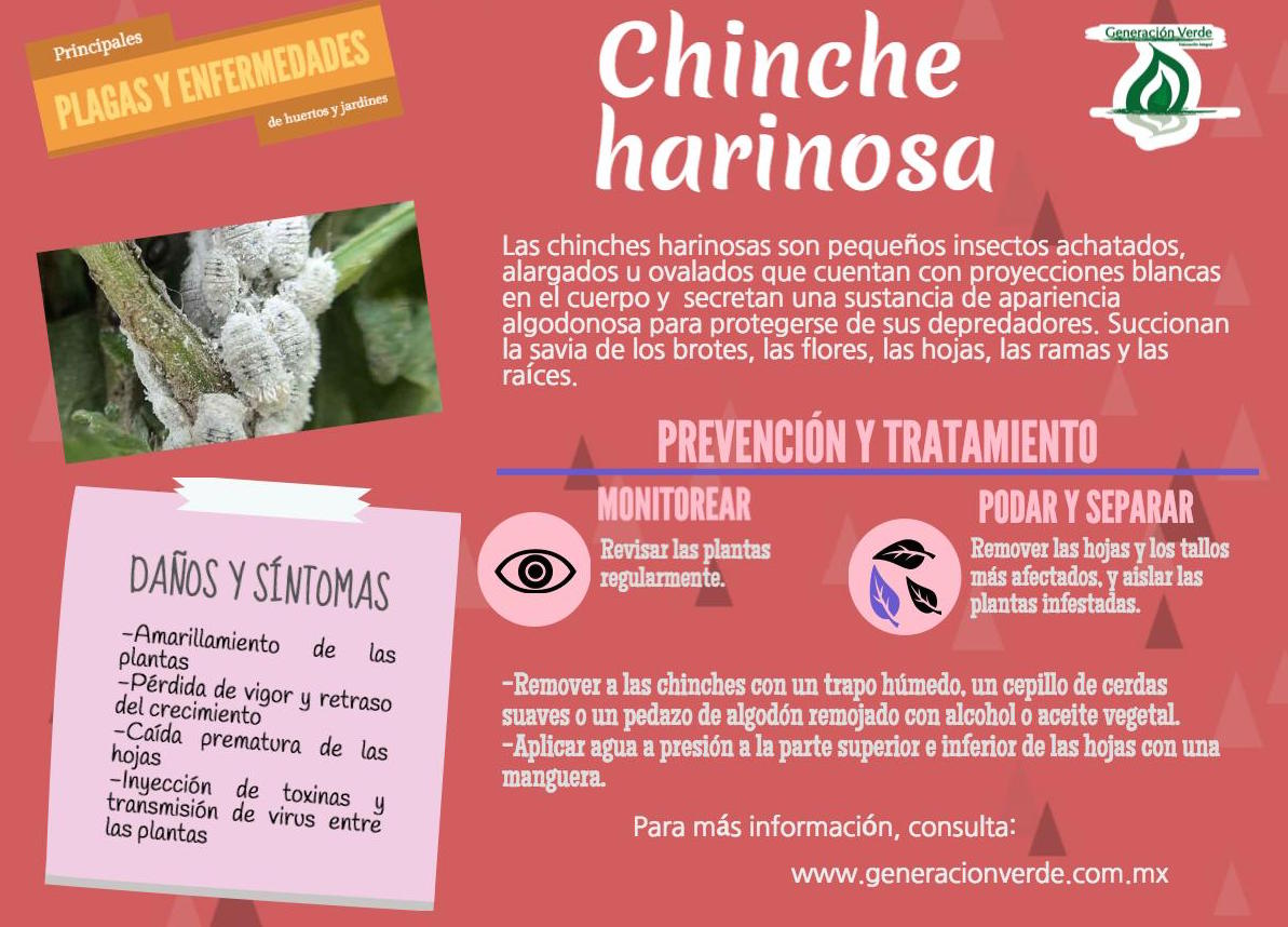 Infografía_Chinche harinosa