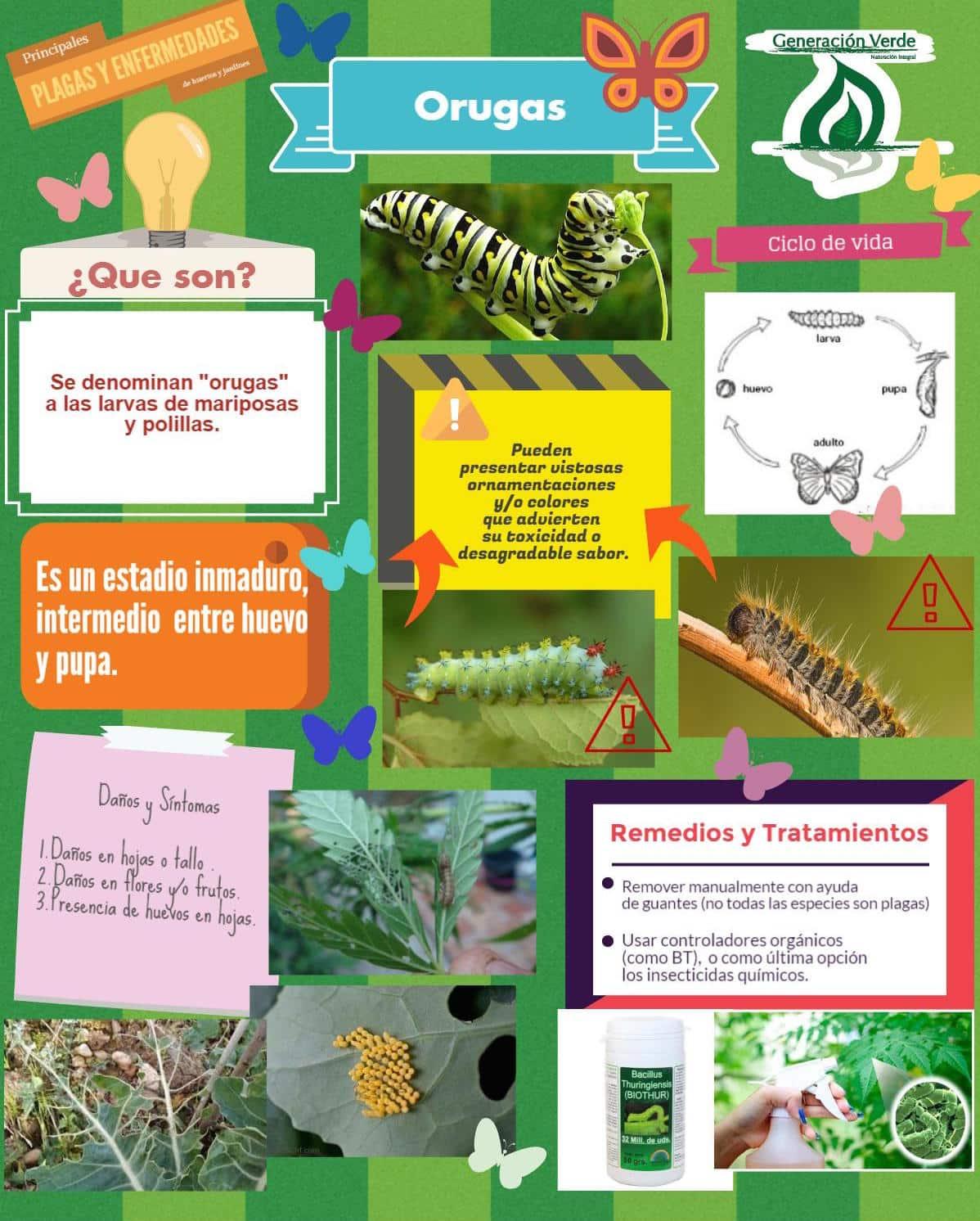 infografía de orugas