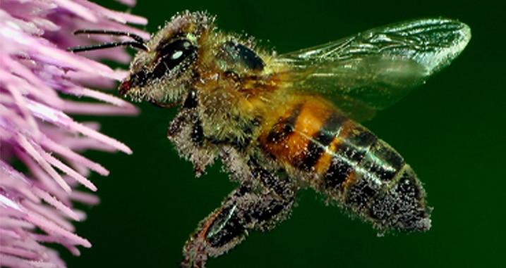 Importancia polinización - Abeja cubierta de polen